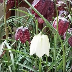 Welche Blumen Blühen Im Mai : mit etwas gl ck bilden sich auch wenige wei e bl ten bei der schachbrettblume danke f rs ~ Eleganceandgraceweddings.com Haus und Dekorationen