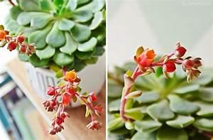 Blühende Zimmerpflanzen Pflegeleicht : urban jungle bloggers meine bl hende echeveria und warum ~ Michelbontemps.com Haus und Dekorationen