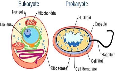 differences  prokaryotic cell  eukaryotic cell
