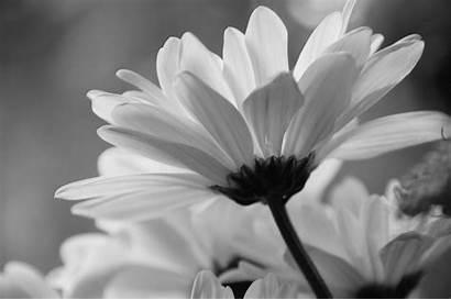 Daisy Desktop Flowers Wallpapers Wallpapersafari 4k Code