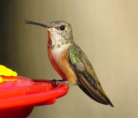rare western hummingbirds spotted on long island tbr