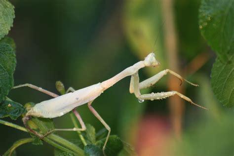 White Praying Mantis Free Stock Photo - Public Domain Pictures