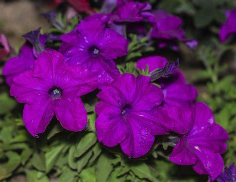 Petunien Garten Pflanzen by Wann Petunien Pflanzen Garten Ratgeber Wie Bekomme Ich