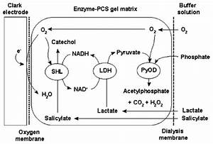 Schematic Diagram Of A Shl  Ldh  Pyod Trienzyme Lactate