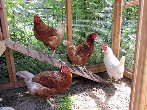 Backyard Chickenkeeping Gains Momentum In Anchorage