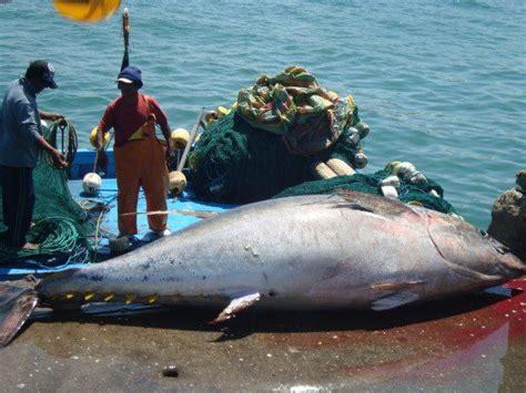 Atum Em Vias A Desaparecer Por Depredação Pesqueira