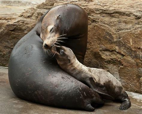 baby  deck sea lion pup born  pittsburgh zoo zooborns