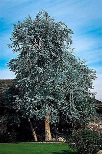 eucalyptus tree for sale the tree center
