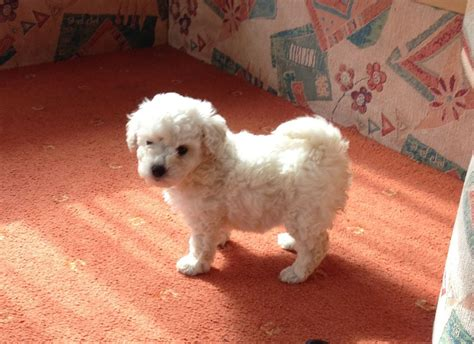 White Toy Poodle Cross Bichon Frise Puppy Sheerness
