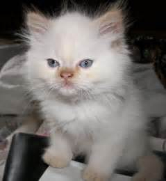 himalayan cat pictures himalayan kittens pictures and info