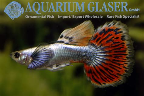 guppy aquarium glaser gmbh