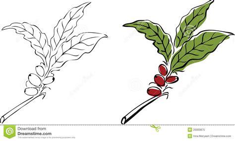 Coffee Tree Branch. Royalty Free Stock Photo   Image: 20000875