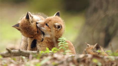 Pretty Animal Wallpaper - photo foxes cubs 2 animals 1920x1080
