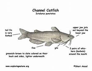 Labelled Diagram Of Catfish