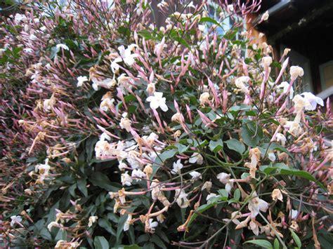 jasminum polyanthum en pot blanc d hiver jasminum polyanthum