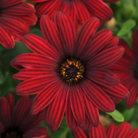 Osteospermum Serenity Red