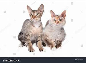 Two Sphynx (Cat) With Hair Stock Photo 71289550 : Shutterstock