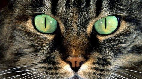 Animal Fur Wallpaper - nature animals cat green closeup hair fur