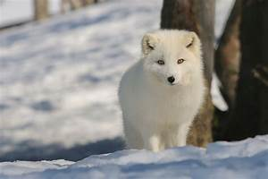 Best Time To See Arctic Fox In Norway 2020