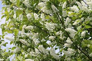 Weiß Blühender Strauch : wei bl hender baum kostenlose foto baum ast bl hen wei ~ Lizthompson.info Haus und Dekorationen