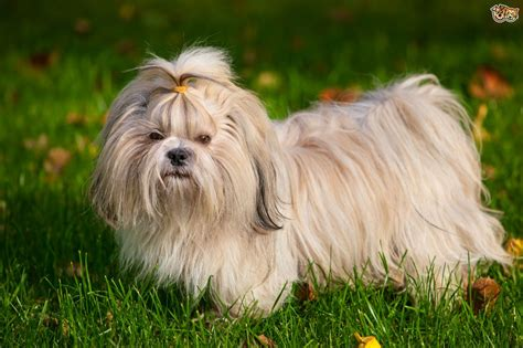 Shih Tzu Dog Breed Facts Highlights And Advice Pets4homes