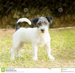 Jack Russell Terrier stock photo. Image of canine ...