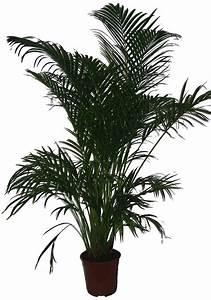 Große Zimmerpflanzen Pflegeleicht : zimmerpflanze goldfruchtpalme online kaufen otto ~ Lizthompson.info Haus und Dekorationen