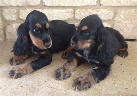 black  tan cocker spaniel puppies picture dog