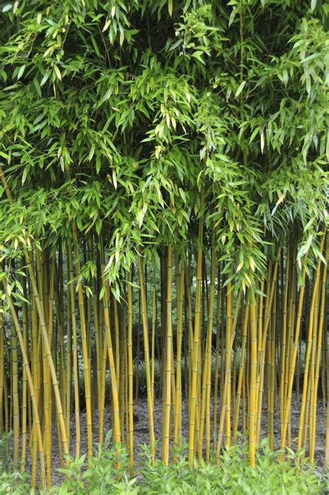 garden bamboo 25 best ideas about bamboo garden on pinterest bamboo privacy fence bamboo screening and