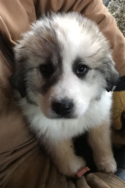 Great Pyrenees Puppies For Sale | Minerva, OH #263434