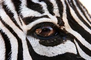 """""""Zebra Eye"""" by Susan Russell Redbubble"""