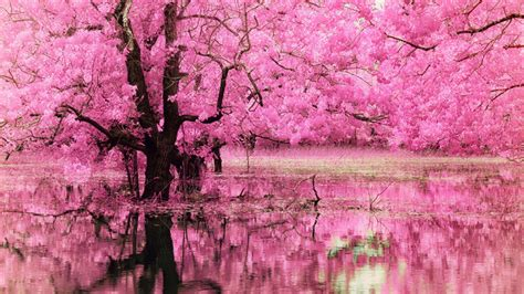 pink tree  full  pink flowers reflecting  water hd