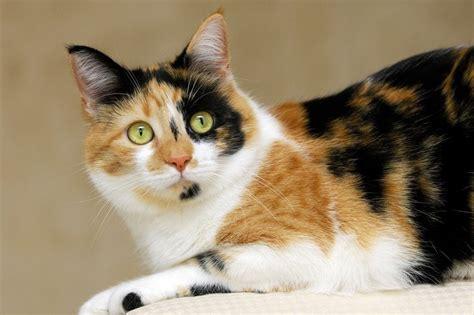 calico cat talking cats why epigenetics female orange everyone always facts node istock type