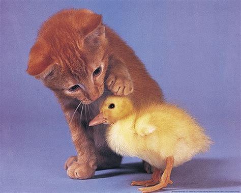 Best Friends Kitten And Duck Cute Animal Poster