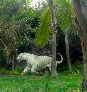 Foto de Africam Safari, Puebla: Tigre De Bengala Blanco TripAdvisor