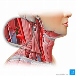 Thyrocervical Trunk  Anatomy  Branches  Supply