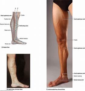 Knee Anatomy Venous