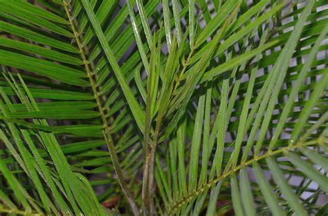 palmen fuer die terrasse seite  palmen palmenforumde