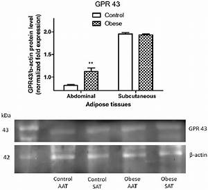 Protein Expression Of Gpr 43 In Abdominal And Subcutaneous