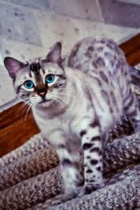 i ve never seen a purple cat you snow bengal here