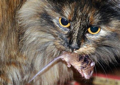 answers feline nutrition foundation