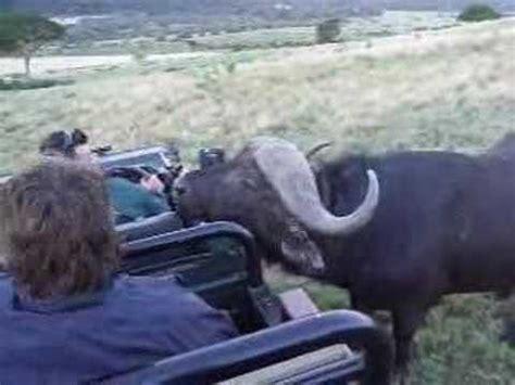 close encounter   cape buffalo youtube