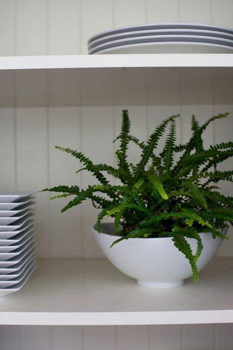 low light ferns best 25 button fern ideas on pinterest maidenhair fern what is a fern and indoor ferns
