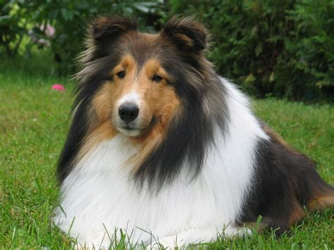 Shetland Sheepdog Shed A Lot by Shetland Sheepdog History And Health Temperament