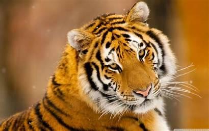 Animal Wild Tiger Siberian Desktop Wallpapers Animals