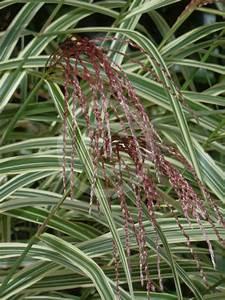 Miscanthus Sinensis Variegatus : miscanthus sinensis variegatus variegated maiden grass variegated japanese silver grass ~ Eleganceandgraceweddings.com Haus und Dekorationen