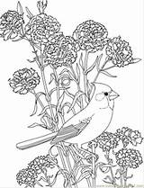 Coloring Cardinal Ohio Carnation Pages Coloringpages101 Usa Pdf sketch template