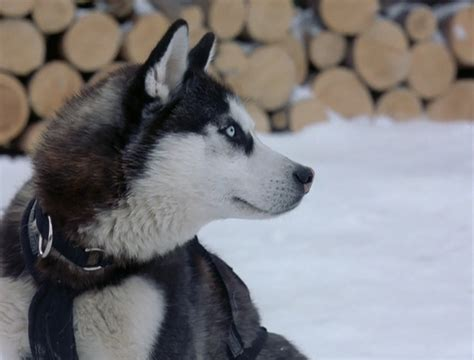 Snow Dogs Images Demon Wallpaper And Background Photos
