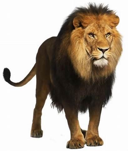 Lion African Clipart Transparent Pngmart