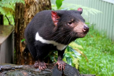 Tasmanian devil, stocky carnivorous marsupial with heavy forequarters, weak hindquarters, and a large squarish head. 10 Tasmanian Devil facts you need to know - Sightseeing Scientist